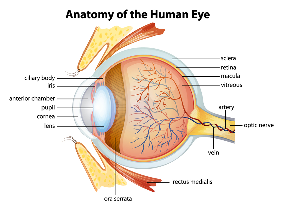 Eye Anatomy | Exeter Eye